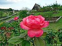 Rose62